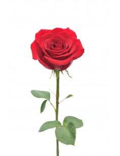 Rose à l'unité
